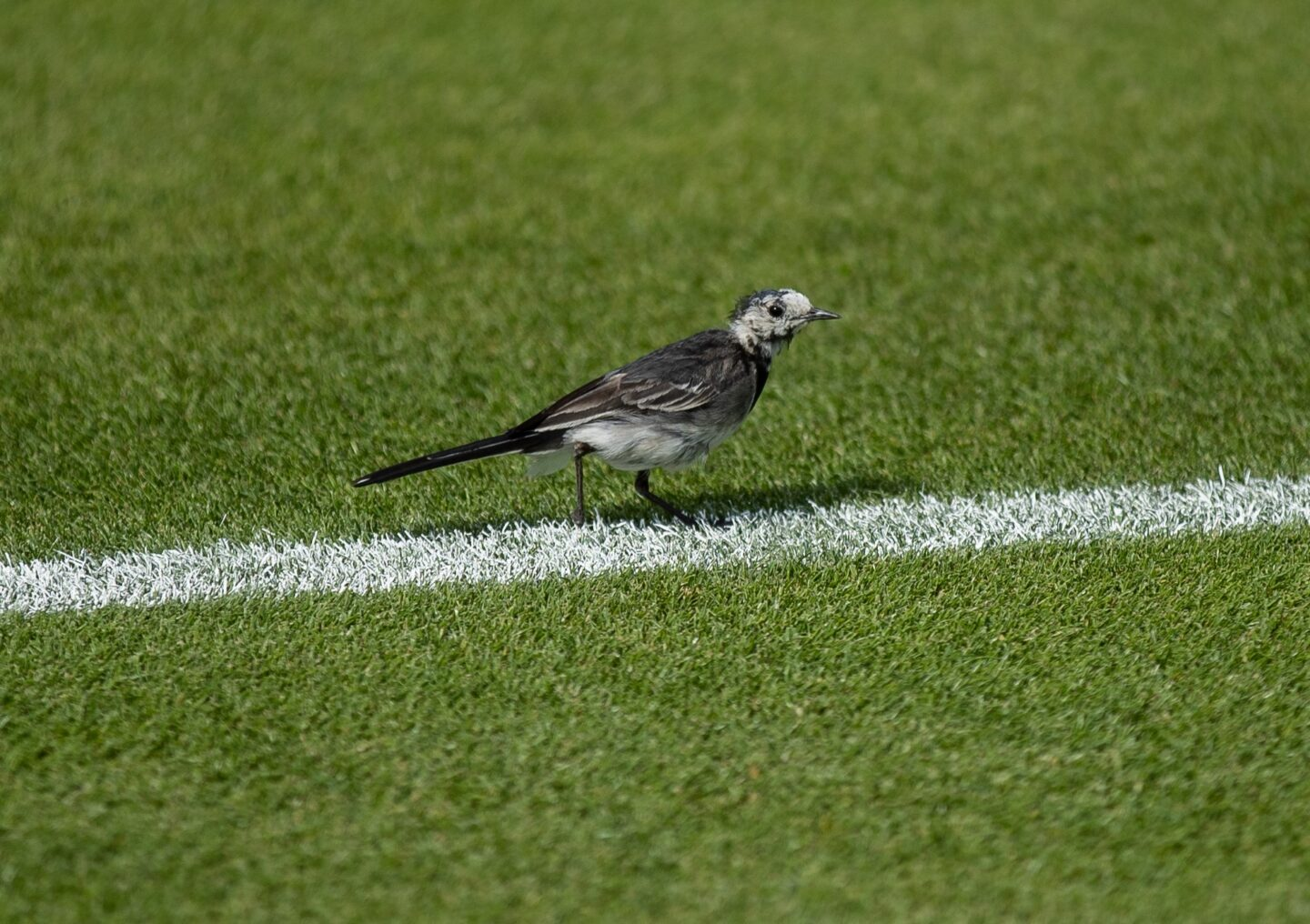 Learn all about Rufus - the official Wimbledon hawk - in our blog.